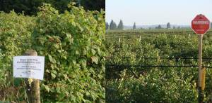 There is increasing disease pressure in both raspberry and blueberry production over the Abbotsford aquifer that is requiring new and stronger pesticides